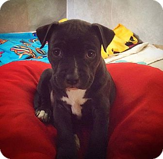 American Staffordshire Terrier/American Pit Bull Terrier Mix Puppy for adoption in Eugene, Oregon - Precious