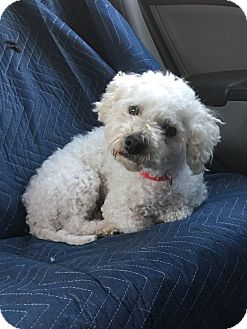 Poodle (Miniature) Dog for adoption in Van Nuys, California - Max