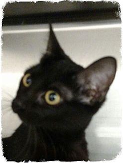 Domestic Shorthair Kitten for adoption in Pueblo West, Colorado - Arina
