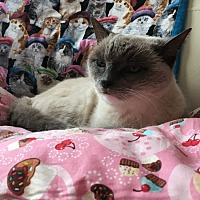 Siamese Cat for adoption in Nuevo, California - Ms. Valentine