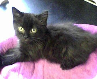 Domestic Longhair Kitten for adoption in Mount Pleasant, South Carolina - Olive