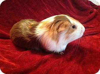 Guinea Pig for adoption in Williston, Florida - Paul