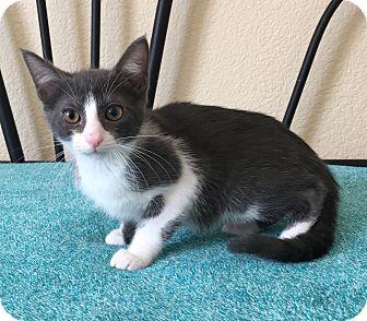 Domestic Shorthair Kitten for adoption in Plano, Texas - MACBETH - BORN IN FOSTER CARE!