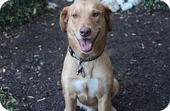 Labrador Retriever Mix Dog for adoption in Brattleboro, Vermont - Scout
