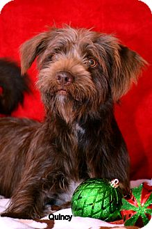 Petit Basset Griffon Vendeen Mix Dog for adoption in Okeechobee, Florida - Quincy