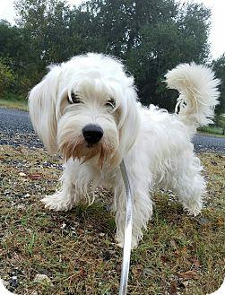 Havanese Mix Dog for adoption in San Antonio, Texas - Winston