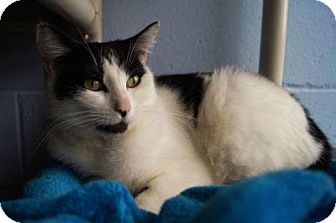 Domestic Shorthair Cat for adoption in New Milford, Connecticut - Bevin