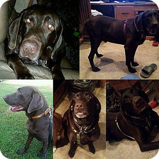 Labrador Retriever Dog for adoption in Springtown, Texas - Duke