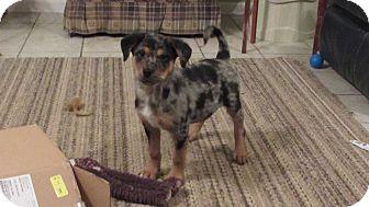 Rottweiler/Australian Shepherd Mix Puppy for adoption in Bedford, Virginia - Radar