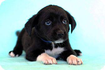 Labrador Retriever Mix Puppy for adoption in Waldorf, Maryland - Dopey