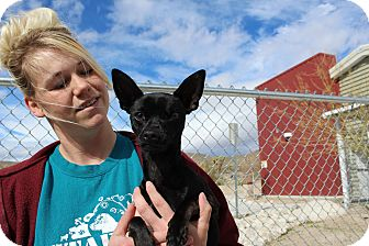 Chihuahua Mix Dog for adoption in Yucca Valley, California - Dobby Wink Potter