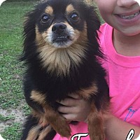 Chihuahua Dog for adoption in Mobile, Alabama - Frank