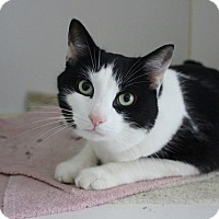 Domestic Shorthair Cat for adoption in Sparta, New Jersey - Elvis