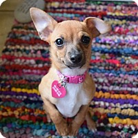Adopt A Pet :: Pidge - San Diego, CA