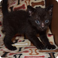 Adopt A Pet :: Berlioz - Great Falls, MT