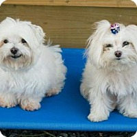 Adopt A Pet :: Romeo - Santa Fe, TX