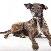 Adopt A Pet :: Botsie - sylmar, CA