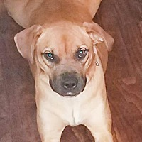 Adopt A Pet :: HONEY - EMOTIONAL SUPPORT ANIMAL - DeLand, FL