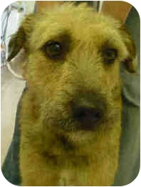Airedale Terrier Mix Dog for adoption in San Clemente, California - VIOLET