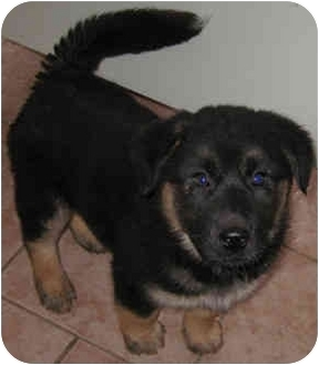Husky Mix Puppy for adoption in Tahlequah, Oklahoma - Paddy