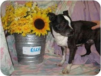Boston Terrier Dog for adoption in Fort Wayne, Indiana - Elly Boston