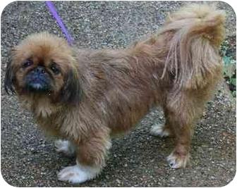 Pekingese Dog for adoption in House Springs, Missouri - Max