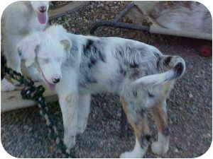 Australian Shepherd Puppy for adoption in Mesa, Arizona - Miriam