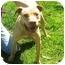 Photo 4 - Labrador Retriever/American Pit Bull Terrier Mix Dog for adoption in Berkeley, California - Ollie