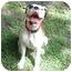 Photo 3 - Boxer Dog for adoption in Tallahassee, Florida - Milkshake