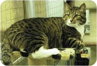Domestic Shorthair Cat for adoption in Mission, British Columbia - Cleo