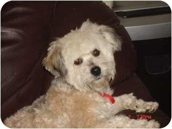 Maltese/Poodle (Miniature) Mix Dog for adoption in Denver, Colorado - Peanut