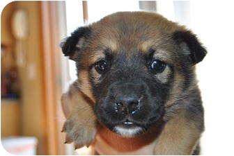 German Shepherd Dog/Husky Mix Puppy for adoption in Webster, Minnesota - Ally AKA Sasha