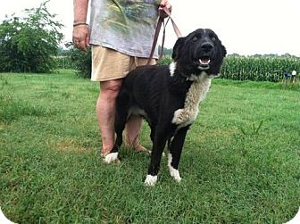 Border Collie Mix Dog for adoption in Lebanon, Maine - Clyde-URGENT