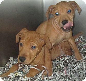 Vizsla/Boxer Mix Puppy for adoption in Hammonton, New Jersey - Rosco & Cooper
