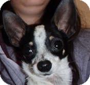 Chihuahua Dog for adoption in North Wilkesboro, North Carolina - Tank
