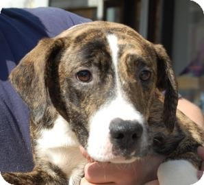 Labrador Retriever Mix Puppy for adoption in Brooklyn, New York - Eyore