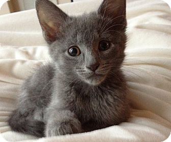 American Shorthair Kitten for adoption in Chicago, Illinois - Huey