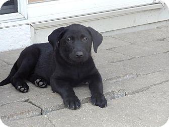 Labrador Retriever/German Shepherd Dog Mix Puppy for adoption in Naperville, Illinois - Lacey