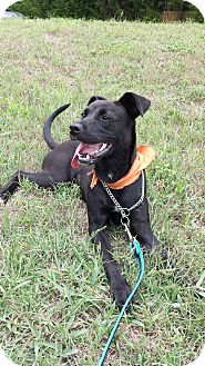 Labrador Retriever Mix Puppy for adoption in Dallas, Texas - Angelina