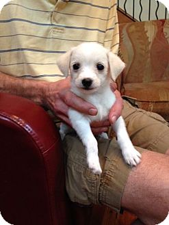 Chihuahua Mix Puppy for adoption in Knoxville, Tennessee - Ethel