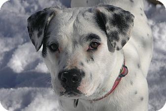 American Bulldog/Labrador Retriever Mix Dog for adoption in berwick, Maine - AnnaBelle