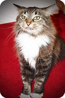 Domestic Mediumhair Cat for adoption in Xenia, Ohio - Lily