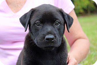 Labrador Retriever Mix Puppy for adoption in Homestead, Florida - Remington (Fran)