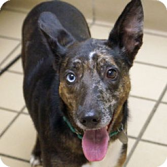 Cattle Dog Mix Dog for adoption in Eatontown, New Jersey - Half Pint
