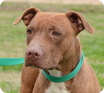 Pit Bull Terrier Mix Dog for adoption in Groton, Massachusetts - Mercy