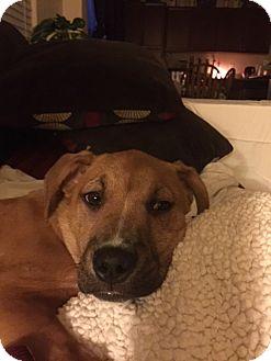 Shepherd (Unknown Type) Mix Dog for adoption in Las Vegas, Nevada - Harmony