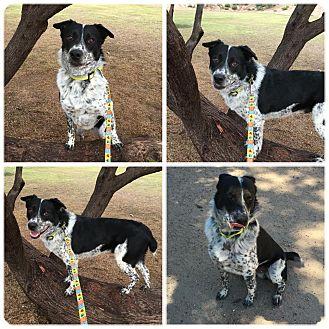 Australian Cattle Dog Mix Dog for adoption in Phoenix, Arizona - salty