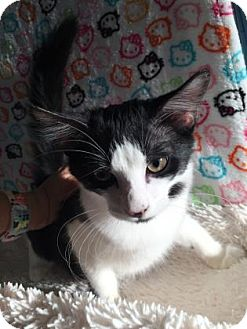 Domestic Shorthair Kitten for adoption in Fountain Hills, Arizona - CHECKERS