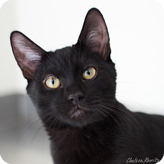 Domestic Shorthair Cat for adoption in Canyon Country, California - Batman