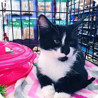 Domestic Mediumhair Cat for adoption in Mansfield, Texas - Sylvia
